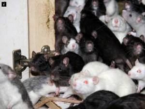 Mơ thấy chuột chạy thành đàn đánh con gì cho chuẩn?