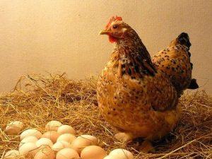 Mơ thấy trứng gà nở/vỡ là điềm gì ? Đánh số gì dễ trúng ?